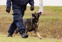 Formazione del cane poliziotto Fotografia Stock Libera da Diritti