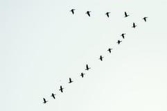 Formazione di uccelli in volo Immagine Stock