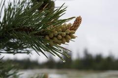Formazione e gocce di acqua della pigna sul ramo di albero sempreverde Immagini Stock Libere da Diritti