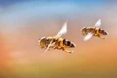 Formazione Hoverflies Fotografia Stock