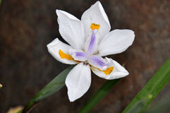 Forme Afrique du Sud d'iris de cap Images stock