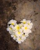 Forme blanche de coeur de plumeria Photo libre de droits