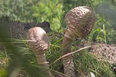 Forme fortement incurvée de quelques jeune champignons de parasol, avec image stock