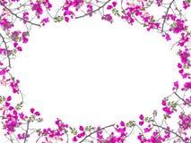 Forme rose d'ovale de cadre de fleur de bouganvillée Images libres de droits