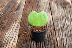 Forme verte de coeur de feuille dans le pot de fleur Photos stock