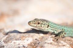 Formentera lizard Stock Images