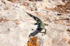 Formentera lizard Stock Photos