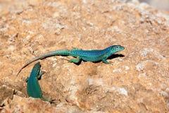 Formentera lizard Podarcis pityusensis formenterae. Formentera lizard couple Podarcis pityusensis formenterae Royalty Free Stock Images