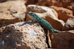Formentera lizard Stock Photo