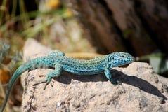 Formentera lizard Stock Photography
