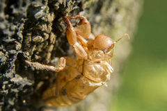 Former Self. Exoskeleton of an insect left behind on a tree after molting Royalty Free Stock Image
