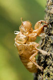 Former Self. Exoskeleton of an insect left behind on a tree after molting Royalty Free Stock Images