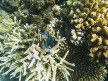 Formes diverses du récif coralien Photo sous-marine d'habitants tropicaux de bord de la mer Photos libres de droits