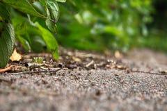 Formic väg (myraväg) till myrstacken arkivfoto