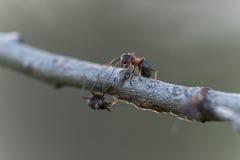 formica Immagini Stock