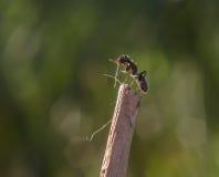 formica Immagini Stock Libere da Diritti