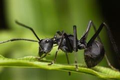 Formica appuntita - formica di Polyrhachis Fotografie Stock