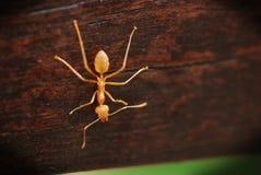 Formica arancione Immagini Stock Libere da Diritti