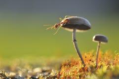 Formica del tessitore su un fungo Immagini Stock Libere da Diritti