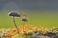 Formica del tessitore su un fungo Immagine Stock Libera da Diritti