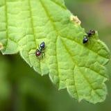 Formica della formica che mangia foglio Immagini Stock