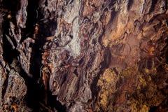 Formica di legno rossa Immagini Stock