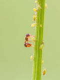 Formica ed afide sulle piante immagini stock