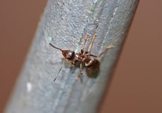 Formica - macro colpo fotografie stock