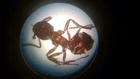 Formica nel microscopio immagine stock