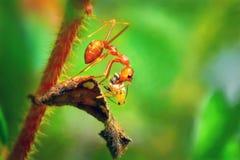 Formica per muovere il loro alimento su un ramo Fotografia Stock