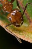 Formica rossa Fotografie Stock