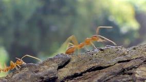 Formica rossa che cammina sull'albero video d archivio