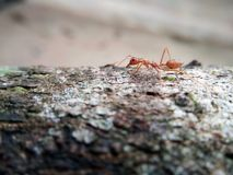 Formica rossa del primo piano che cammina su un albero Fotografia Stock Libera da Diritti