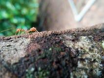Formica rossa del primo piano che cammina su un albero Fotografia Stock