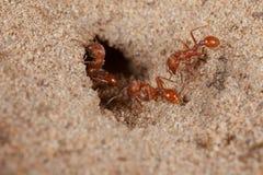 Formica rossa della mietitrice (barbatus di Pogonomyrmex) Fotografie Stock Libere da Diritti