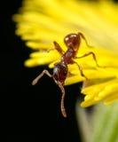 Formica rossa su un fiore giallo Immagini Stock