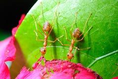 Formica rossa sul foglio Fotografie Stock