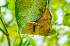Formica rossa sul limone fotografie stock