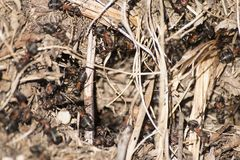 Formica rufa anthill, red wood ant anthill. Composition Stock Images