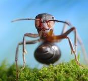 Formica rufa del ladro della foresta, racconti della formica Fotografie Stock Libere da Diritti