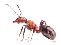 Formica rufa della formica su bianco Fotografie Stock Libere da Diritti