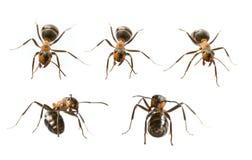 Formica rufa rosso delle formiche di legno Immagini Stock