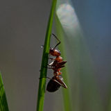 Formica rufa on a straw. Formica rufa sitting on a blade of grass in closeup Stock Photos