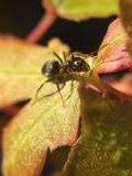 Formica su Acer dorato fotografia stock