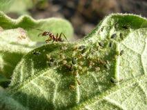 Formica su un pezzo di pianta La formica governerà la colonia degli afidi Immagine Stock