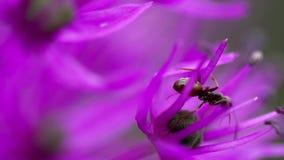 Formica sul fiore della cipolla archivi video