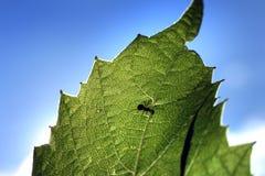 Formica sul foglio verde Immagine Stock Libera da Diritti