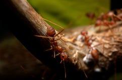 Formica sull'albero Immagini Stock