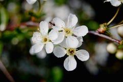 Formica sulla ciliegia del fiore Fotografia Stock
