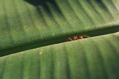 Formica sulla foglia della banana Fotografie Stock